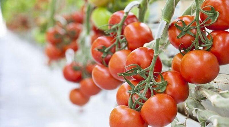 türk-şeker-afyon-domateslerine-talip