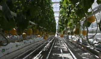 Kırşehir termal serada kavun üretiyor